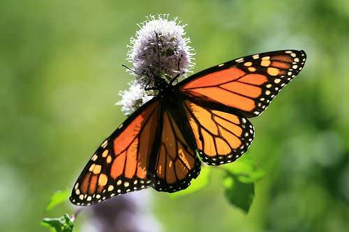como sembrar hierbas para atraer mariposas