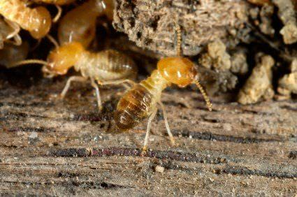 termitas en madera
