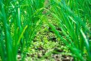 cultivo de puerro