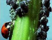 Insectos beneficiosos para jardines2
