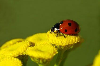 Insectos beneficiosos para jardines1