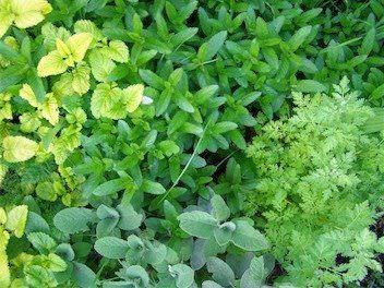 Como cultivar un jardin de hierbas para infusiones2