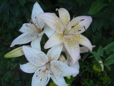 Los tipos de flores mas bonitas7