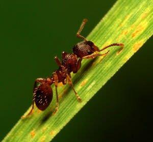 Como deshacerse de las hormigas