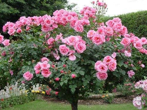 Como sembrar rosas1