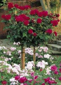 Como sembrar rosas10