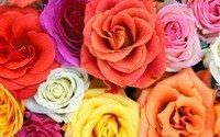 Como sembrar rosas2