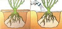 Como sembrar rosas7