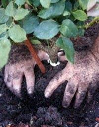 Como sembrar rosas9
