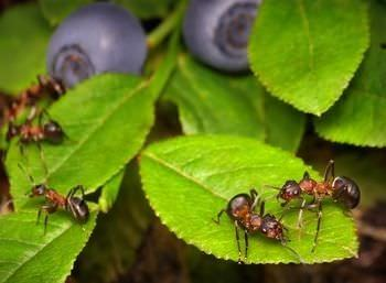 12 remedios naturales para una invasion de hormigas