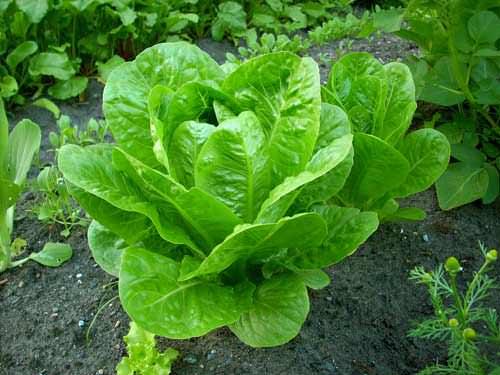 Como cultivar lechuga romana fresca a partir de una cabeza1