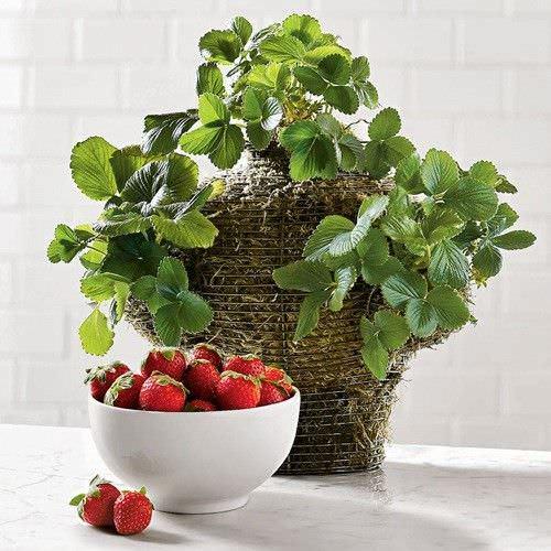 Como cultivar fresas en el interior