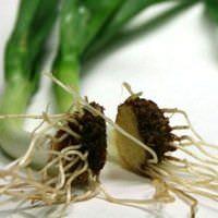 Cultivar un suministro interminable de cebollas con fondos de cebollas viejas5