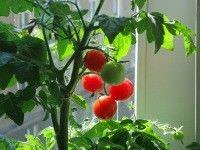 Frutas y verduras para jardines interiores3