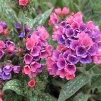 Lista de Flores que crecen en la sombra6
