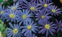 Lista de flores que crecen en la sombra5