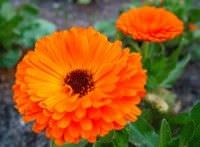 Flores comestibles2