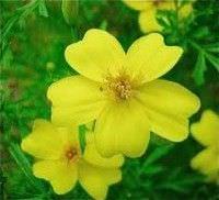 Flores comestibles5