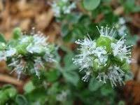 Flores comestibles6