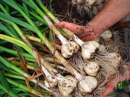 La Mejores y Peores Plantas Companeras del Ajo