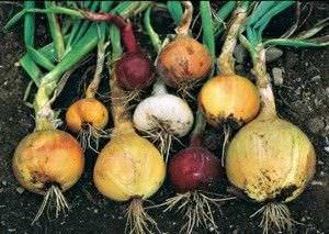 Alimentos que Puede Cultivar a partir de Desechos de la Cocina7