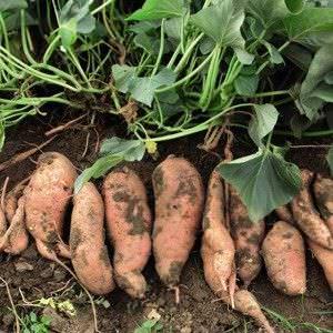 Alimentos que Puede Cultivar a partir de Desechos de la Cocina8