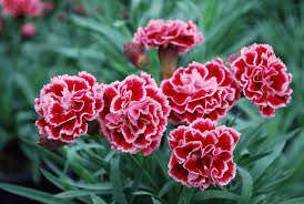 Las Mejores Flores Fragantes para su Jardin1