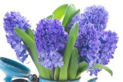 Las Mejores Flores Fragantes para su Jardin10