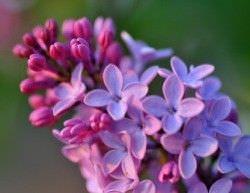 Las Mejores Flores Fragantes para su Jardin12