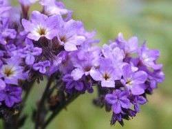 Las Mejores Flores Fragantes para su Jardin14