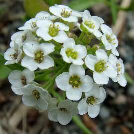Las Mejores Flores Fragantes para su Jardin16