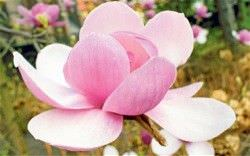 Las Mejores Flores Fragantes para su Jardin18