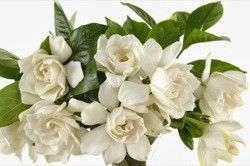 Las Mejores Flores Fragantes para su Jardin2