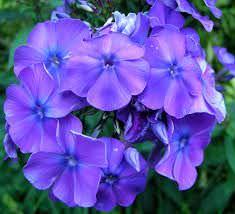 Las Mejores Flores Fragantes para su Jardin6